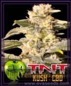 Eva TNT Kush CBD Feminized Marijuana Cannabis Seeds for Sale